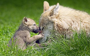 трава, природа, волки, волчица, волчонок