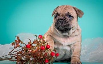 dog, puppy, doggie, cute, french bulldog, cranberries