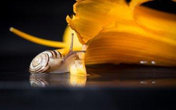 макро, цветок, улитка
