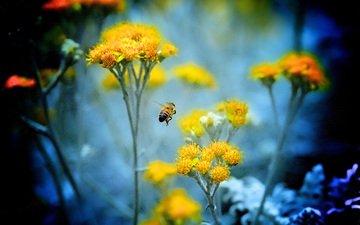 цветы, насекомое, растение, пчела