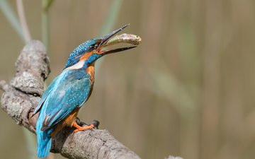 branch, nature, bird, fish, kingfisher