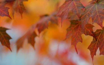 листья, макро, осень, клен