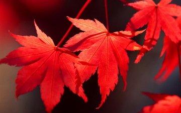 листья, осень, клен, багрянец