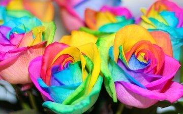 цветы, цвета, розы, разноцветные, радуга, красочные