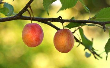 ветка, сад, ягоды, сливы