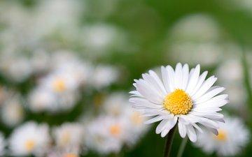 цветы, макро, ромашки, цветком