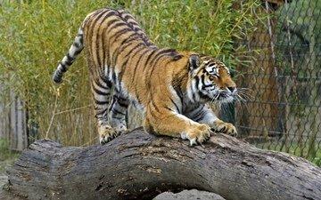 тигр, кошка, бревно, амурский