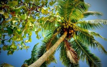 природа, листья, ветви, пальма, крона