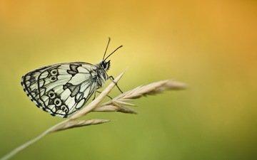насекомое, бабочка, колосок, травинка, melanargia galathea