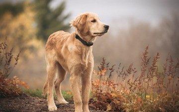 взгляд, собака, друг, золотистый ретривер, голден ретривер