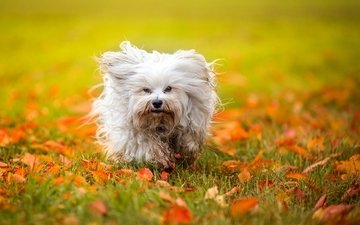leaves, autumn, dog, the havanese, shaggy