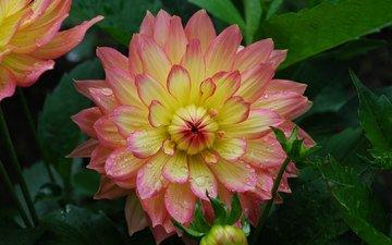 цветы, природа, листья, капли дождя, георгины, розово- желтый