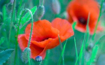 grass, field, petals, maki, meadow