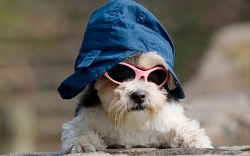 dog, image, doggie, cap, cool, sunglasses, outfit