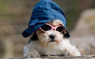 собака, образ, песик, кепка, собачка, крутой, темные очки, прикид, имидж
