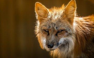 природа, лиса, лисица, мех
