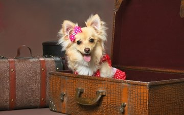 dress, dog, language, funny, bow, brown background, decorative, suitcases