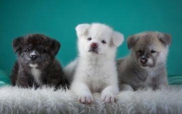 puppies, dogs, trio, japanese akita