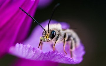 макро, насекомое, фон, цветок, пчела