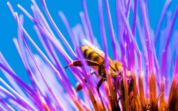 насекомое, цветок, лепестки, пчела