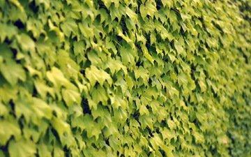 текстура, листья, стена