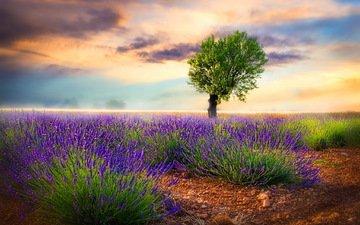 цветы, природа, дерево, поле, лаванда, луг