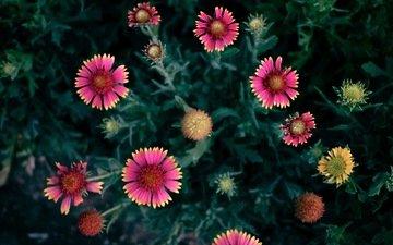 цветы, фон, лепестки, цветком