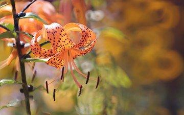 цветы, природа, лепестки, тычинки, лилия, оранжевая