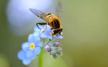 цветы, насекомое, крылья, незабудки, голубые, пчела, полевые