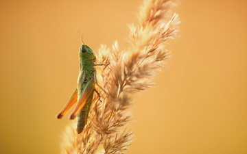 nature, background, grasshopper