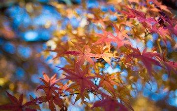 небо, листья, макро, ветки, осень, клен