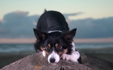 морда, взгляд, собака, камень