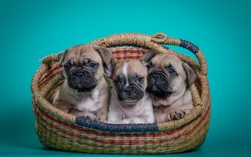 basket, puppies, dogs, trio, french bulldog