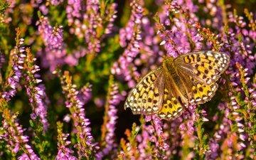 макро, насекомое, бабочка, вереск, перламутровка аглая
