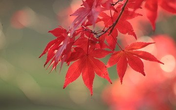 листья, осень, красный, клен
