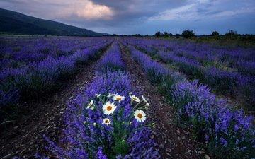 цветы, поле, лаванда, ромашки