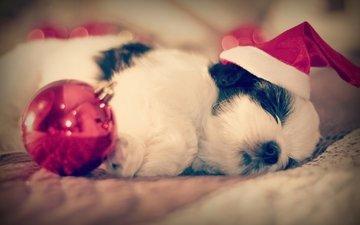 сон, собака, щенок, шарик, колпак, спящий, ши-тцу, малыш.