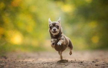 собака, песик, бег, боке, чихуахуа