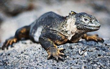 ящерица, игуана, галапагосская