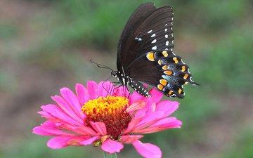 природа, насекомое, цветок, лепестки, бабочка, крылья, мотылек