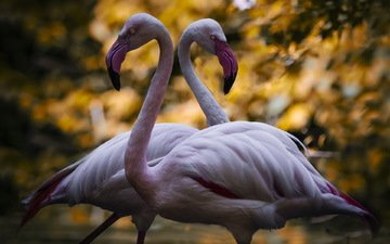 фламинго, птицы, пара