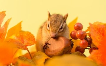 листья, осень, веточка, ягоды, животное, орех, бурундук, грызун