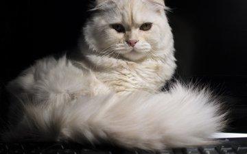 кошка, взгляд, хвост, скоттиш-фолд, шотландская вислоухая кошка