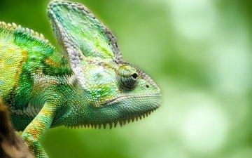 ящерица, зеленая, хамелеон, рептилия, пресмыкающееся, грин