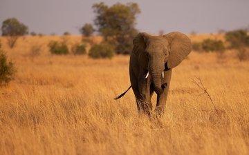слон, уши, саванна, хобот, сухая трава