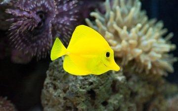макро, под водой, аквариум, рыбка, жёлтая, рыба, подводный мир, яркая