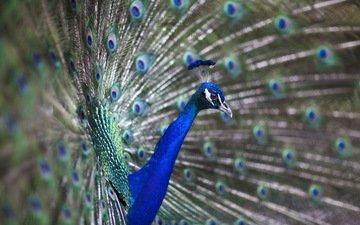 птица, павлин, перья, хвост