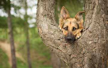дерево, взгляд, собака, друг, немецкая овчарка