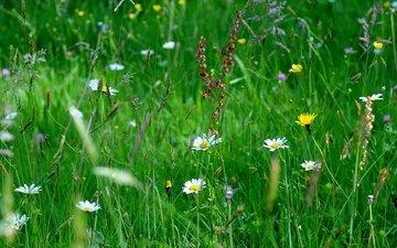 цветы, трава, макро, поле
