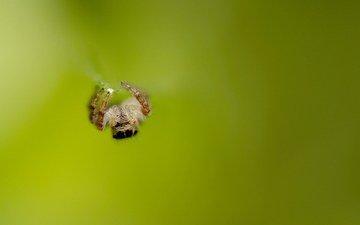 насекомое, фон, паук